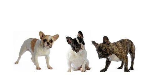 Hundeversicherung für französische Bulldogge