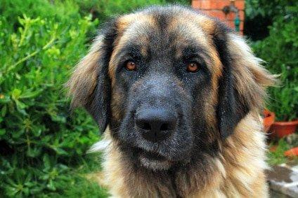 Tierarztkosten Leonberger Schäferhund