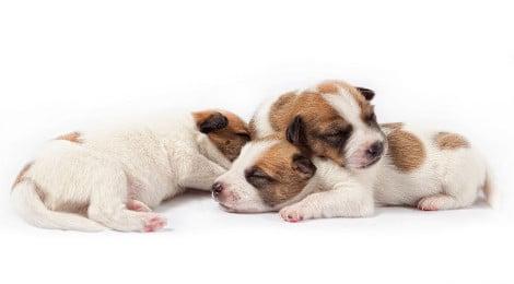 Kaiserschnitt bei Hunden