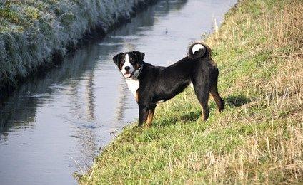Tierarztkosten Entlebucher Sennenhund