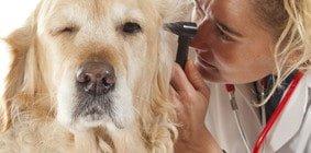 Hundeversicherung für Golden Retriever