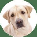 Labrador 10 Jahre alt