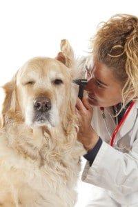 hundeversicherung-golden-retriever-2-200×300