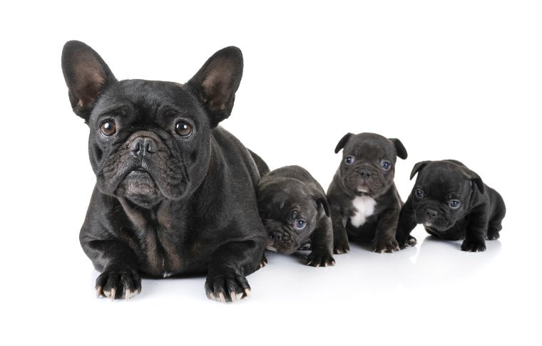 Kaiserschnitt französische Bulldogge