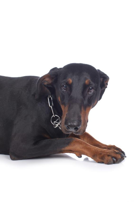 Hundeversicherung für Dobermann