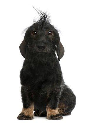 Hundeversicherung für Dackel