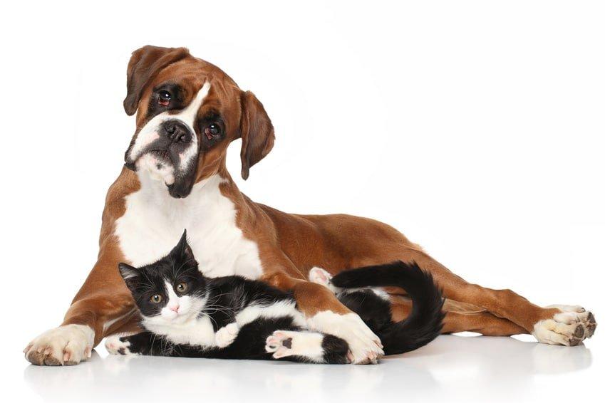 Hundeversicherung für Boxer