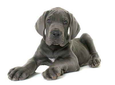 Hundeversicherung für Dogge