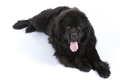 Hundeversicherung für Neufundländer