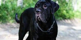 Hundeversicherung für Cane Corso