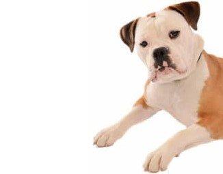 english_bulldog