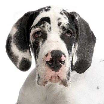 Dogge Hundehaftpflicht